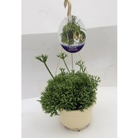 Rhipsalis cereuscala hanging pot 14