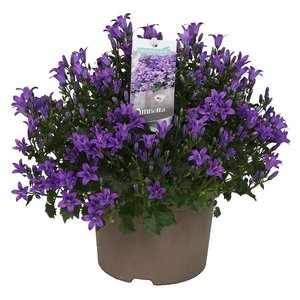 Campanula addendas pourpre intense