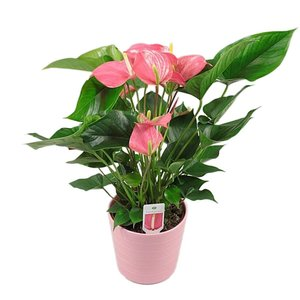 Anthurium Explosion rose