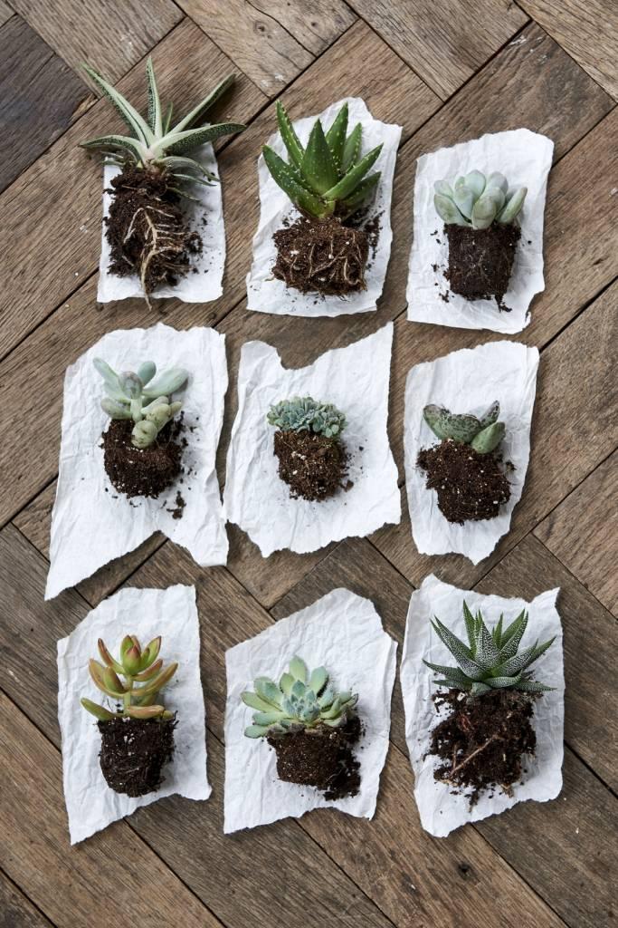 Plantes succulentes: Plantes d'intérieur du mois de juillet