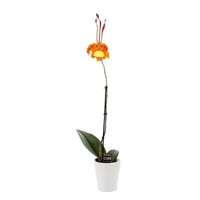 Psychopsis  green valley