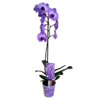 Phalaenopsis Wonder Purple