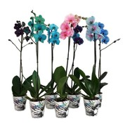 Phalaenopsis Wonder Mix