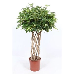 Schefflera Gold Capella tube beautiful heavy plant
