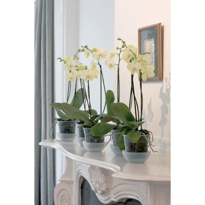 Phalaenopsis 3 branch white giant branched 70 cm