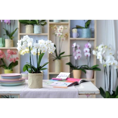 Phalaenopsis 3 tak white giant 70 cm vertakt