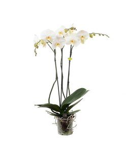 3 branch white giant branched 70 cm