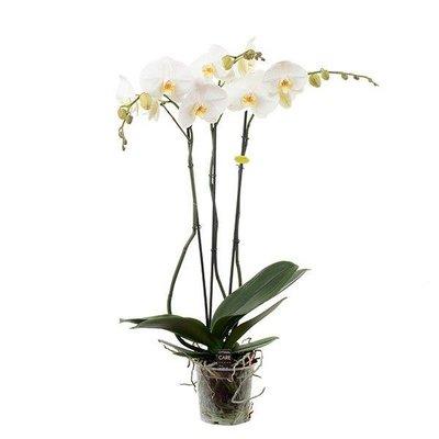 Phalaenopsis 3 branche blanche géante ramifiée 70 cm