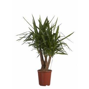 Yucca Yucca Elephantipes Fair Flora 80 cm