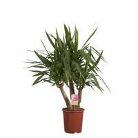 Yucca Elephantipes Fair Flora 80 cm