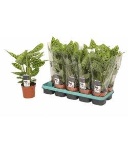 Leopardina - Prayer plants