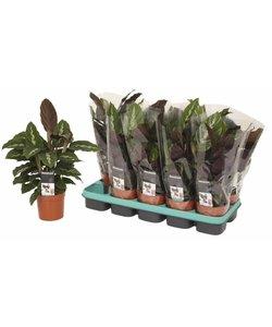 Maui Queen - Pauwenplant, bidplant