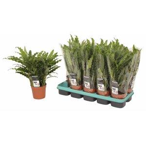 Calathea Bluegrass - pot 12 cm