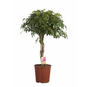 Schefflera Compacta braided trunk, Fair Flora