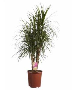 Marginata vertakt, Fair Flora - Drakenbloedboom