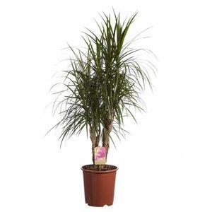 Dracaena Branches de Marginata, Fair Flora