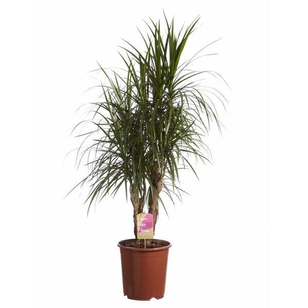 Dracaena Marginata vertakt, Fair Flora