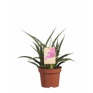 Sansevieria Fernwood Punk, Fair Flora P 12