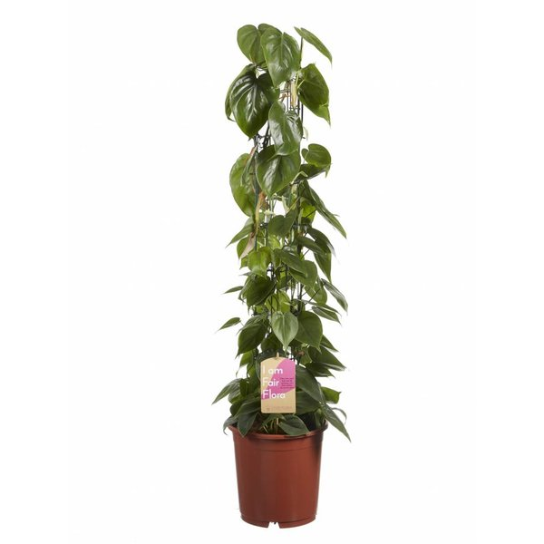 Philodendron Scandens on rack, Fair Flora