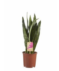Zeylanica, Fair Flora - Snakeplant