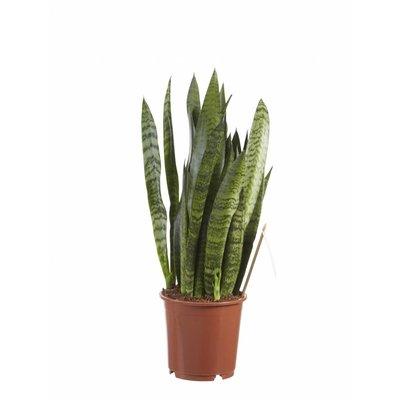 Sansevieria Zeylanica, Fair Flora P 14