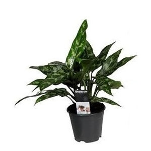 Aglaonema Peacock P 17