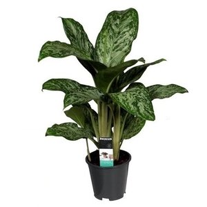 Aglaonema Greenlight P 17