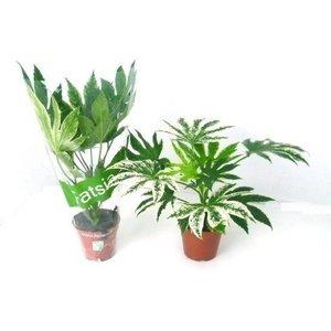 Fatsia Spiderweb Gartenpflanze P 14