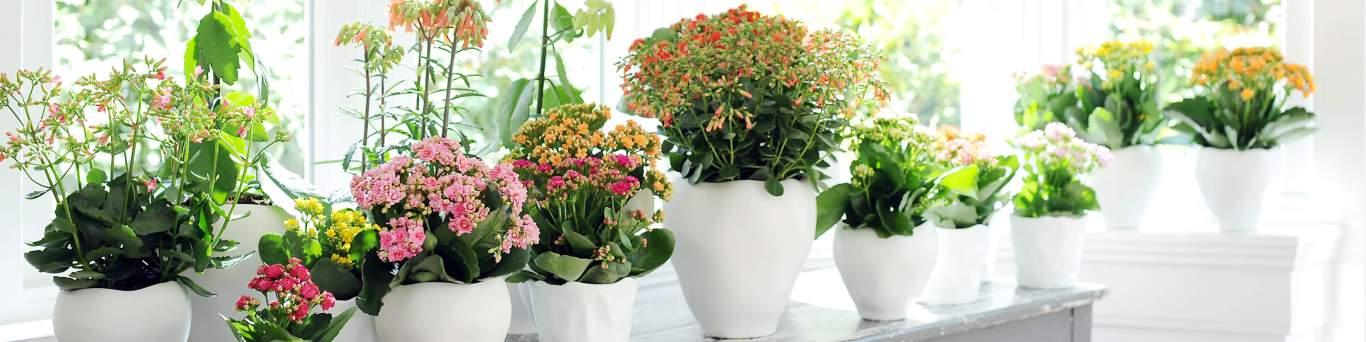 Acheter des plantes d'intérieur haut de gamme ! banner 2