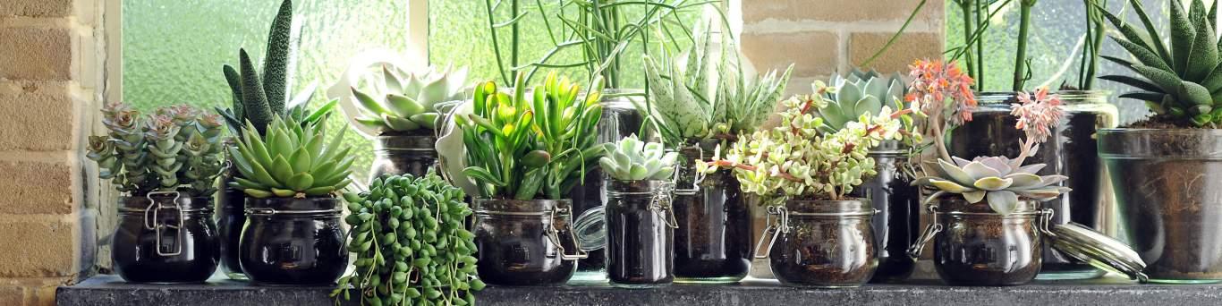 Acheter des plantes d'intérieur haut de gamme ! banner 3