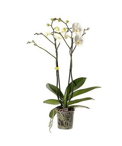 2 branch white giant - 70 cm branched