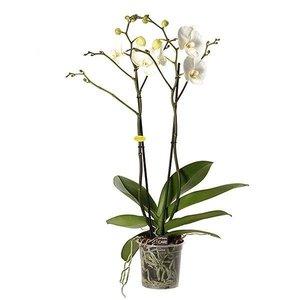 Phalaenopsis Géant blanc à 2 branches - 70 cm ramifié