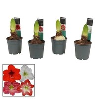 Hippeastrum  Mix 2 button Extra P 12