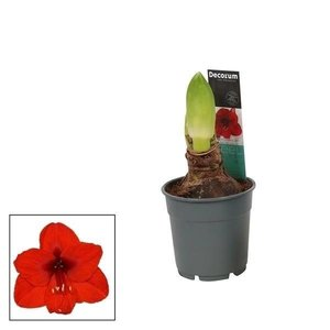 Hippeastrum  Rood 2 knop Extra  P 12