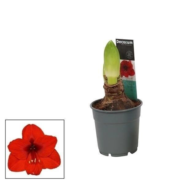 Hippeastrum  Red 2 button Extra P 12
