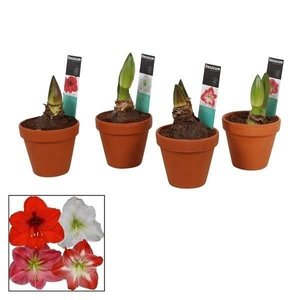 Hippeastrum  Mix 2 Button Terracotta P 13