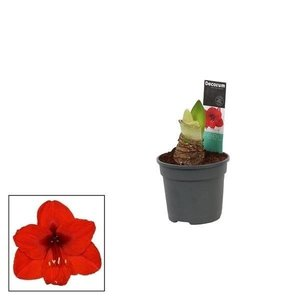 Hippeastrum  Red 2 button Extra P 13