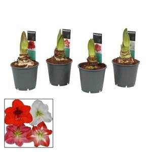 Hippeastrum  Mix 2 Extra P 14 button