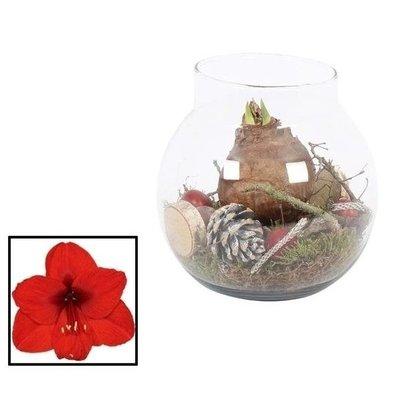 Hippeastrum  Vase Globe AUTUMN