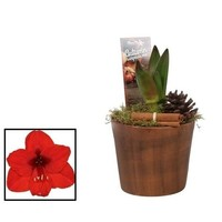 Hippeastrum  Rot 2 Knopf im Glas HERBST