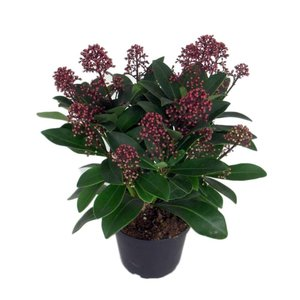 "Skimmia Japonica ""Rubella"" 12 bloem trossen"