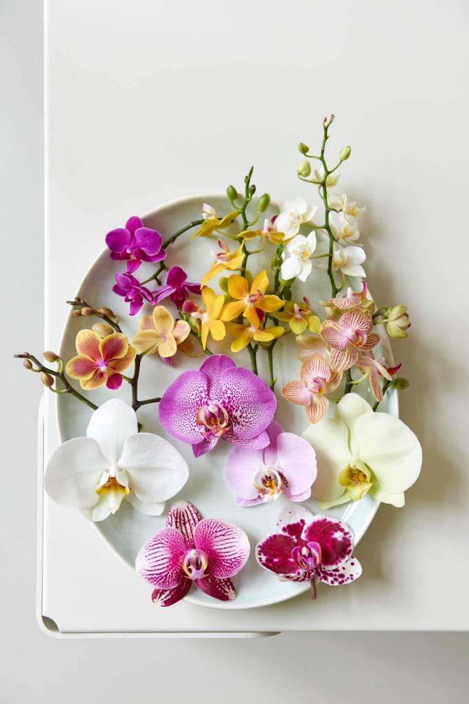 Phalaenopsis: Woonplant van de maand september