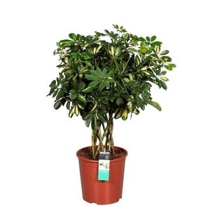Schefflera Gold Capella - trunk stem