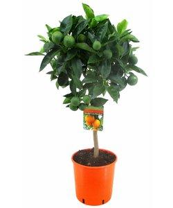 Arancio sinensis