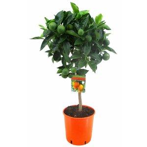 Citrus Zitrusfrüchte Arancio sinensis