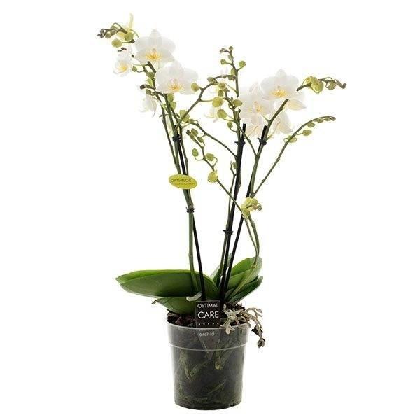 Phalaenopsis Hachiko