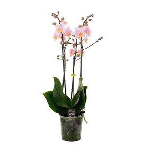 Phalaenopsis Phalaenopsis 3 Zweig amaglad