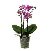 Phalaenopsis 4 branch basel