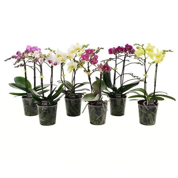 Phalaenopsis 2 Zweige gemischt in Schalen