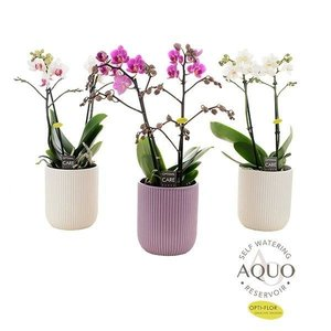 Phalaenopsis 2 branch in aqua ribbed ceramics